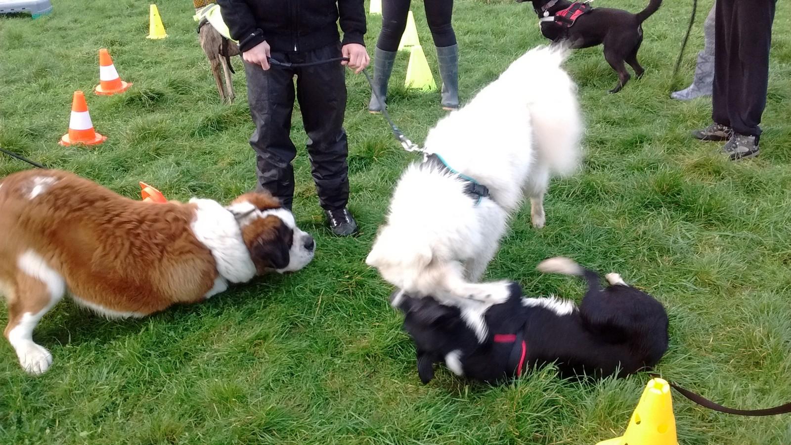 Désensibilisation chien agressif envers ses congénères